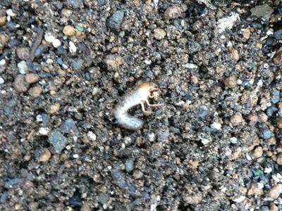 幼虫.JPG